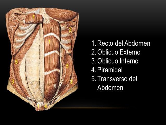 musculos-del-abdomen-5-638